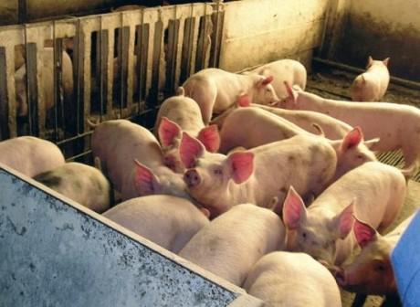 Daea despre reluarea creșterii de porci: Am intrat în etapa a doua de repopulare, în 4 județe