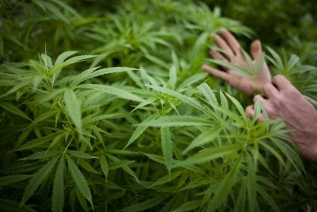 Descoperire surprinzătoare despre marijuana: Drogul ar putea avea beneficii pentru persoanele cu insuficiență cardiacă
