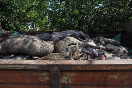 Pesta porcină africană, confirmată într-o gospodărie din județul Maramureș