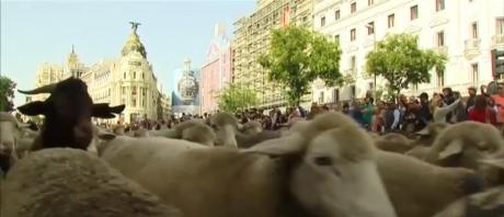 VIDEO - Imagini impresionante în centrul Madridului: sute de oi au 'invadat' capitala Spaniei