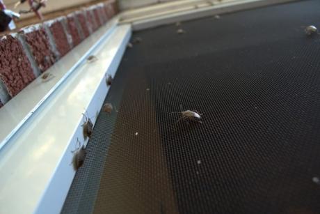 Invazia gândacilor urât mirositori. Cât de nocivi sunt și cum putem scăpa de ei