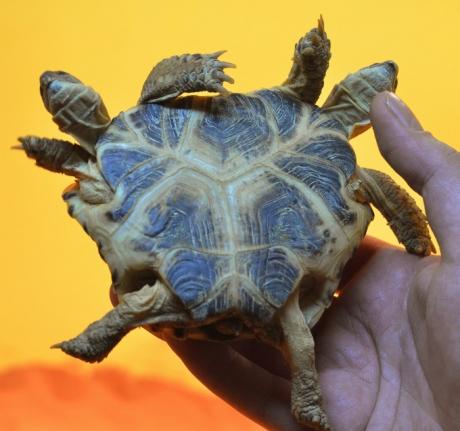 O broască bicefală, descoperită în Malaezia