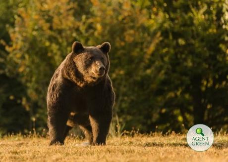 România ia o decizie RADICALĂ, după uciderea ursului Arthur: De acum încolo, 'împuşcarea se face numai de către personalul tehnic'
